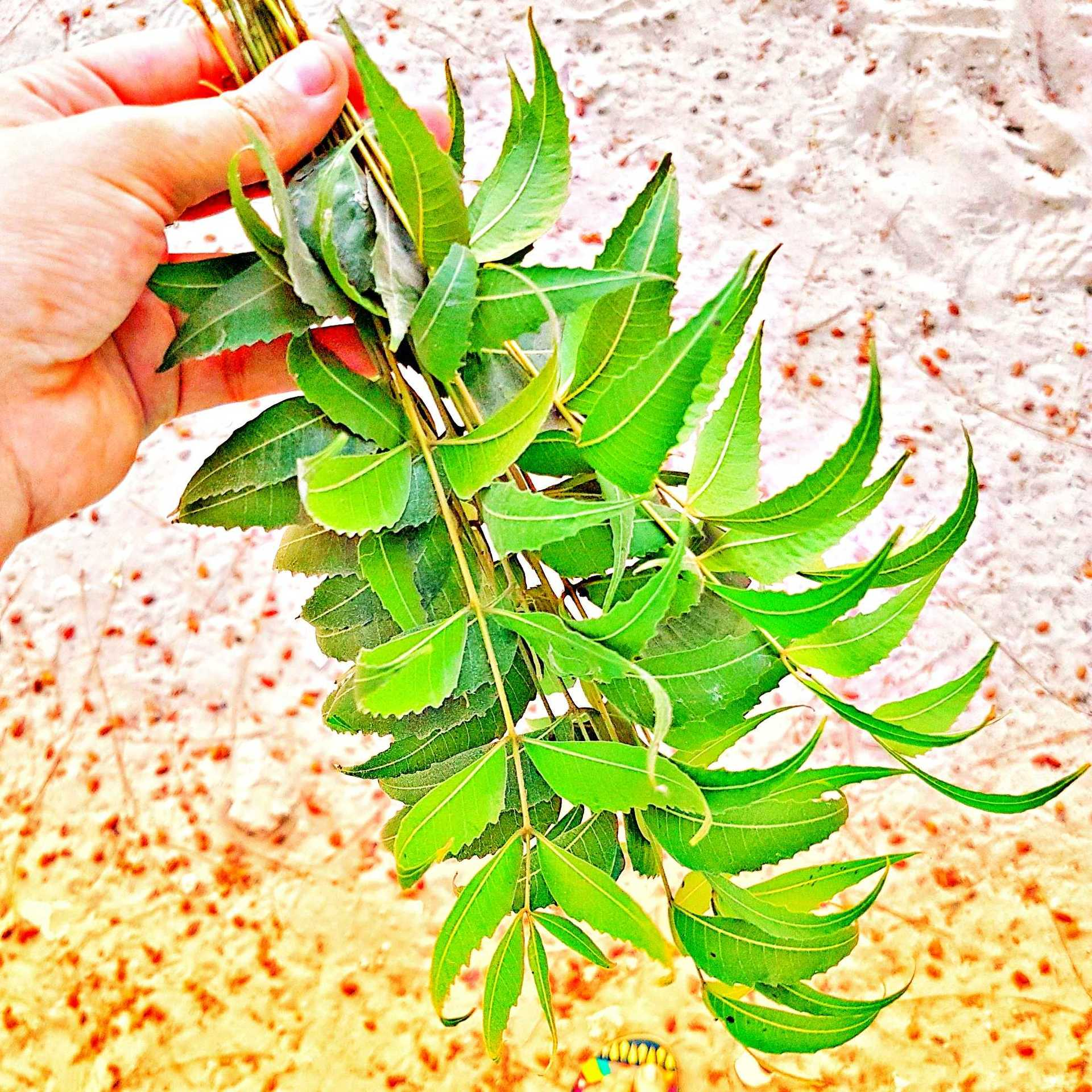 How to use Neem for Skin and Hair image