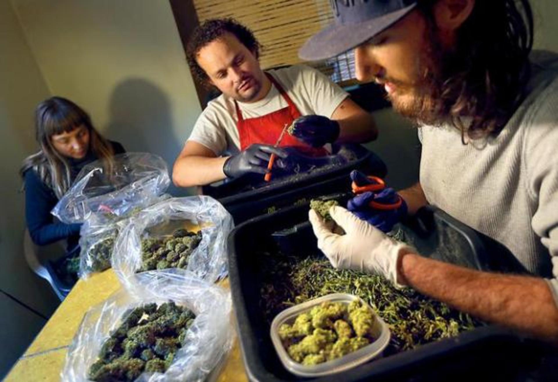 Ukiah Marijuana Pot Shops Use Gloves for Protection image